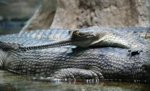 Šťastný den pro gaviála