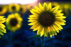 Pacienti s roztroušenou sklerózou opět zasadí slunečnice
