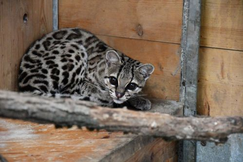 Do liberecké zoo přicestovaly nové šelmy
