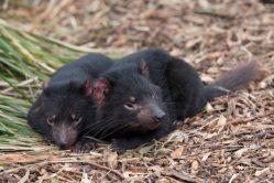 Dobré zprávy z Austrálie: Tasmánských čertů ve volné přírodě přibývá