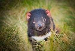 Vědci pracují na vakcíně, která by mohla zachránit tasmánského čerta