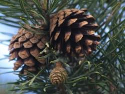 Vědci vyrobili plast z vánočních stromečků