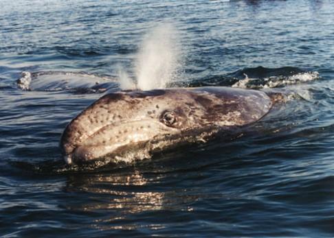 Velryby se umějí úspěšně adaptovat