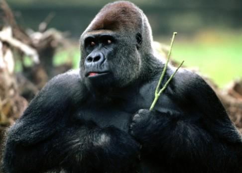 Pražská zoo bude mít nový pavilon goril