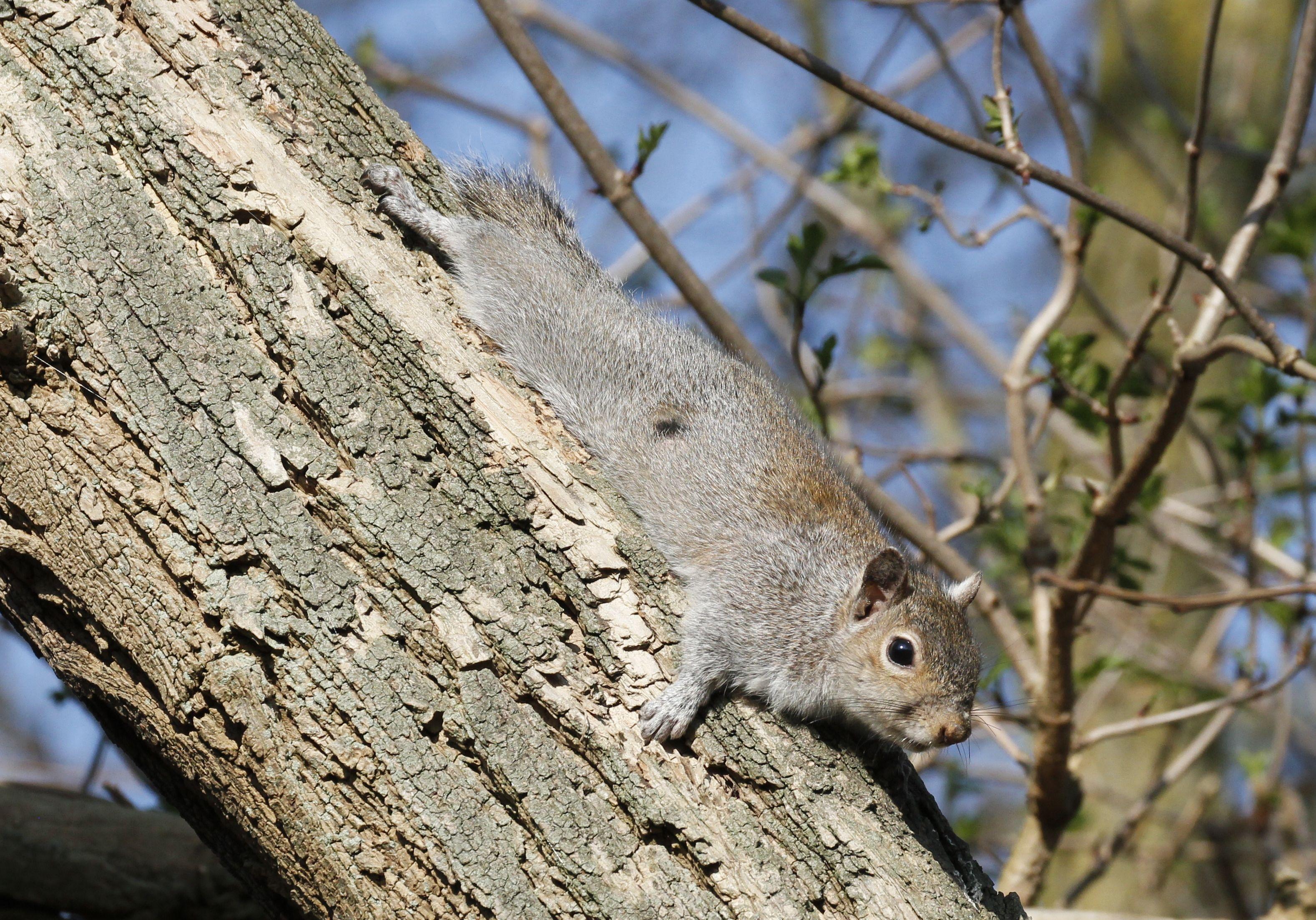 Grey squirrel_copyright_Tim M Blackburn