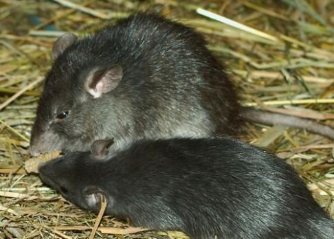Když udělají chybu mohou i krysy cítit lítost
