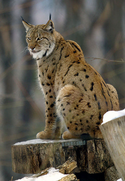 Lynx_lynx2