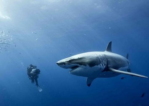 Žraloci společně hodují na mrtvole