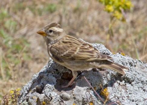 Odmítnutí vrabci zpívají hlasitěji