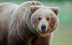 Polský medvěd hledal partnerku až v Maďarsku