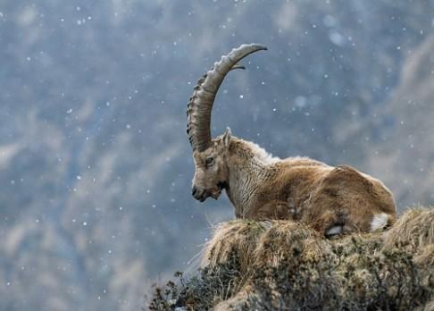 Chystá se klon vyhynulé horské kozy