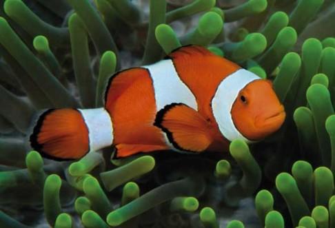 Okyselování oceánů ohlušuje ryby