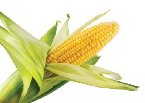 Pohled do genů kukuřice
