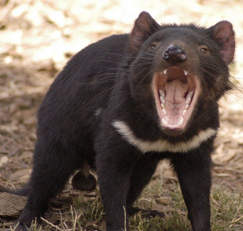 Testy DNA pro tasmánské ďábly