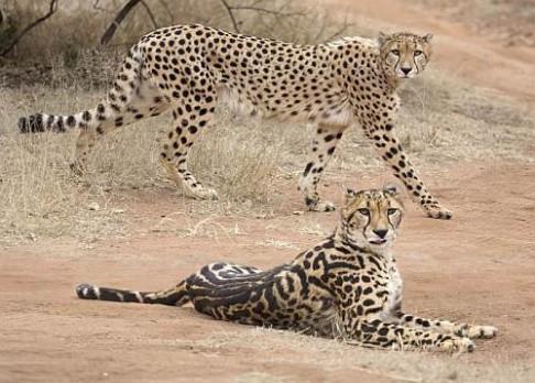Proč mají někteří gepardi pruhy?