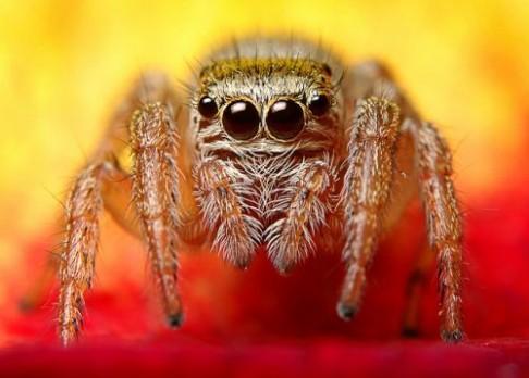 Jak pavouci-upíři identifikují oběť?
