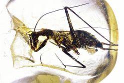 V jantaru byl objeven miliony let vyhynulý druh švába