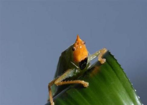 """Hmyz s téměř lidskýma """"ušima"""""""