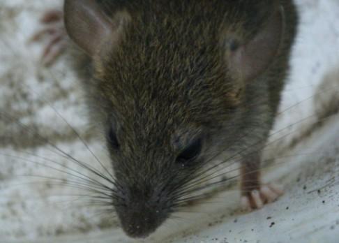 Za Černou smrt krysy ve skutečnosti nemohly
