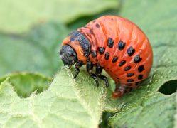 Vědci přišli s návrhem hubit škůdce pomocí mikroskopických hub a parazitů