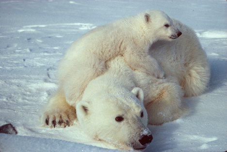 """Lední medvědi """"zhnědli"""""""