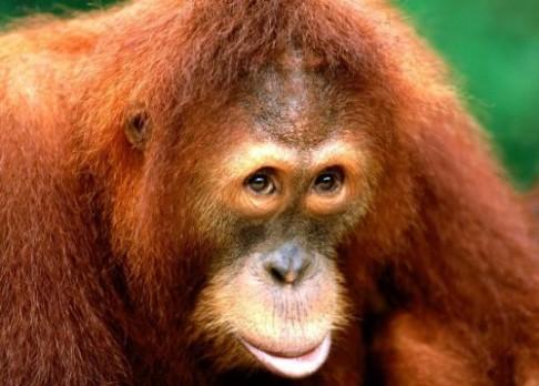 Orangutani umějí být i zabijáky!