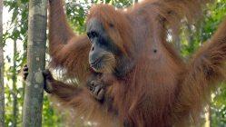 Orangutanů je více, než se myslelo. Přesto jim nadále hrozí vyhubení