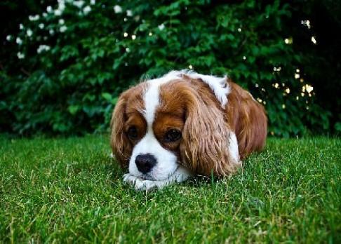 Češi vyvinuli psí vakcínu proti borelióze