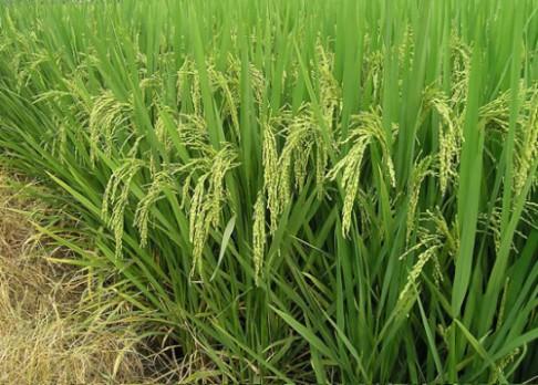 Genetici nabízí klíč k lepší rýži a rajčatům