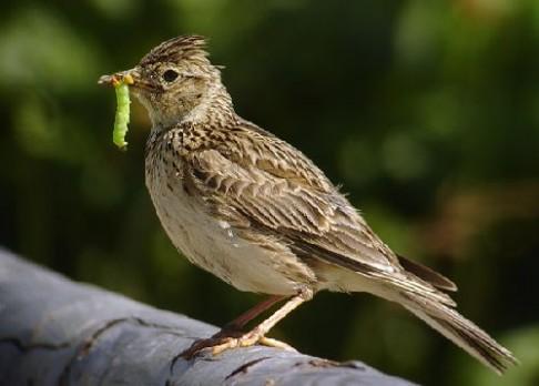 Proč ptáci zpívají?
