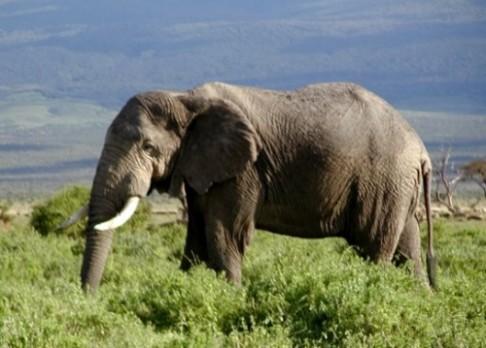 Sloni mají dvakrát lepší čich než psi