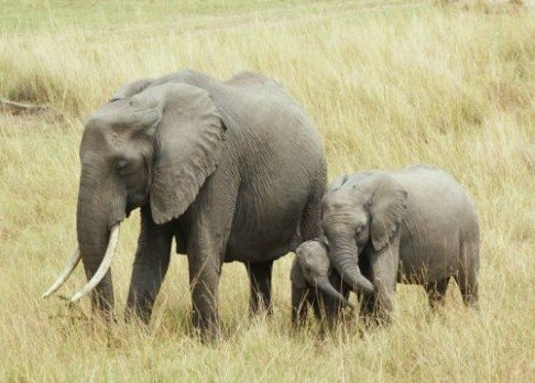 Proč jsou slonice tak dlouho březí?