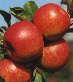 České jabloně jsou vyhledávané po celém světě