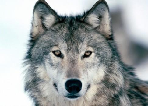 Psi jdou ochočit snadněji než vlci