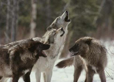 Proč vlastně vlci vyjí?