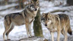 Vytlačili neandrtálce vlci?