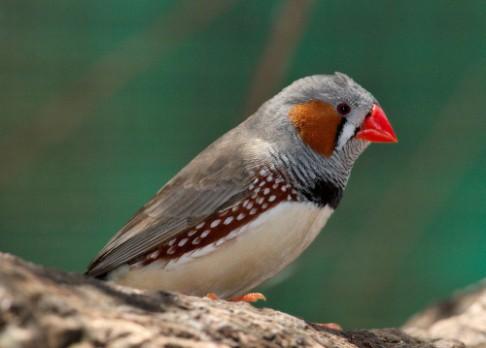 Opilí ptáci zpívají rádi, ale není jim rozumět