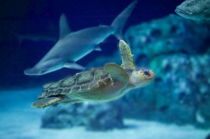 havskildpadde den blå planet