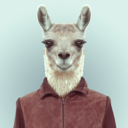 LLAMA by Yago Partal for ZOO PORTRAITS