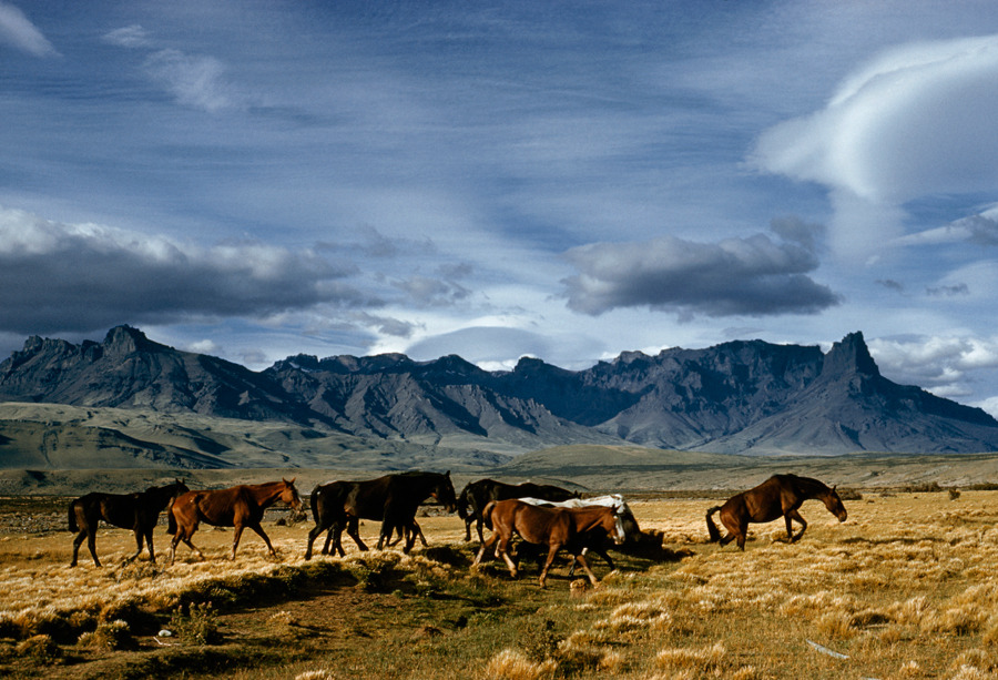 Off-duty work horses trot across a dry wash in the Sierra Baguales in Patagonia, Chile, February 1960.Photograph by Kip Ross, National Geographic