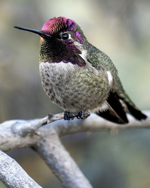 Hummingbird Portrait 10 by Danny Perez Photography on Flickr.
