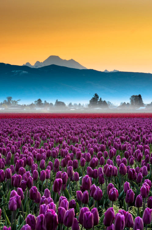end0skeletal:</p> <p>(via 500px / Skagit Valley Tulips and Mt Baker Portrait by Kevin Hartman)</p> <p>I'm ready for spring.<br /> I close my eyes and see<br /> a field of purple tulips.<br /> When I open them, I still see<br /> snow on my grass.<br /> I'll just keep hoping and dreaming.<br /> Eventually it will come true.