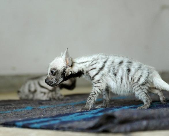 Desktop Wallpaper Of Cute Puppies Striped Baby Hyena