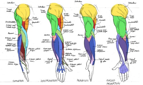 small resolution of anatomy anatomy anatomy human arm muscles
