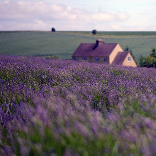 transylvanialand:Cotswold Lavender by Andrew Lockie on Flickr.