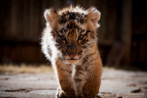 brutalgeneration:</p> <p>The Untouchable Beauty (by Nicole Dangoor)</p> <p>Here I come!<br /> Everyone out of my way!<br /> Or I'll give a big roar.<br /> Meow!!!!