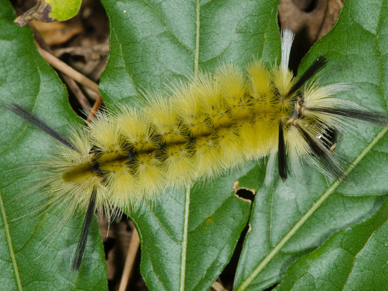 A Tussock lagarta da traça.  Esta espécie é conhecida por conter toxinas que ele recebe das plantas que come, é por isso que estas lagartas pode apenas sentar-se ao ar livre, sem se preocupar muito com predadores.