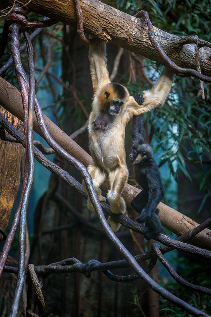 Mother Gibbon and toddler on Flickr Gibbon, Animals