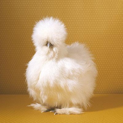 fluffy idk chicken fluffy chicken will i regret this