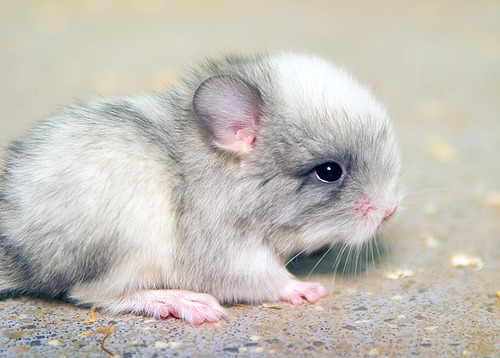 Cute Baby Animals I really like chinchillas because 1